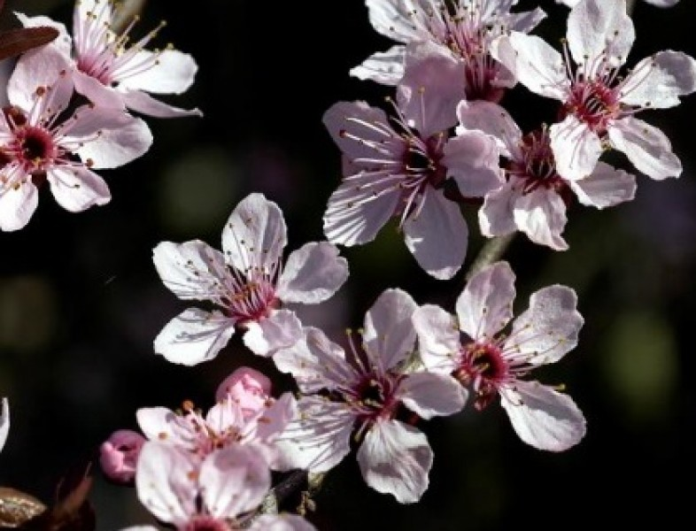 "Prunus cerasifera ""Nigra"" (Pr. pissardi nigra)"