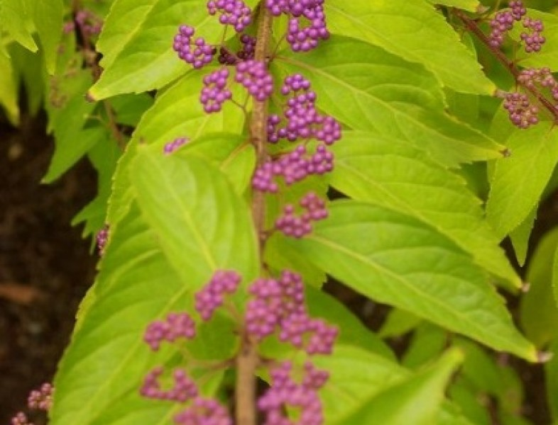 Callicarpa dichotoma ISSAI