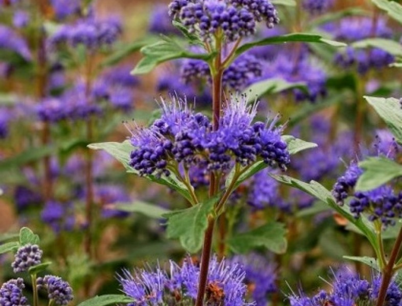 CARYOPTERIS x clandonensis GREAT BLUE
