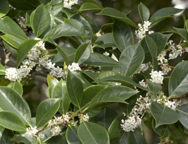 Osmantus fragrans (Olea fragrans)