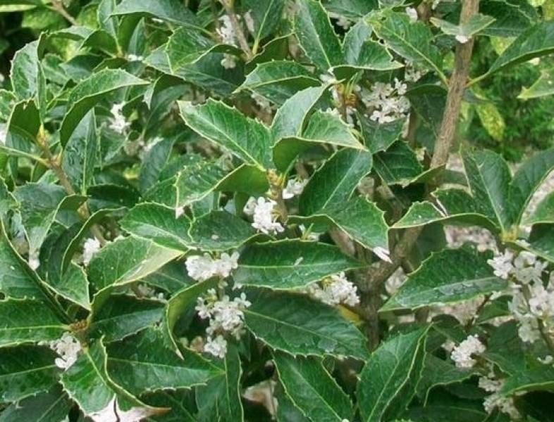 Osmantus aquifolium