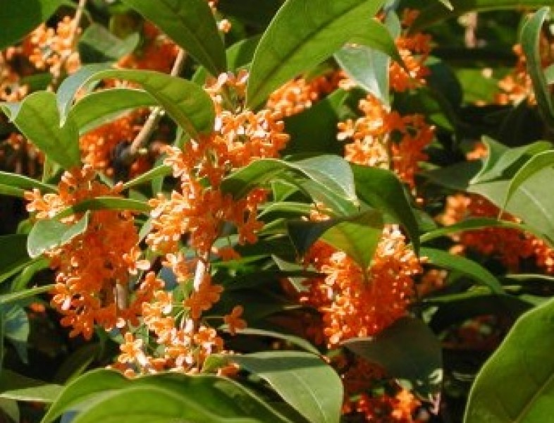 "Osmanthus fragrans ""Rubra"" (Olea fragrans rubra)"