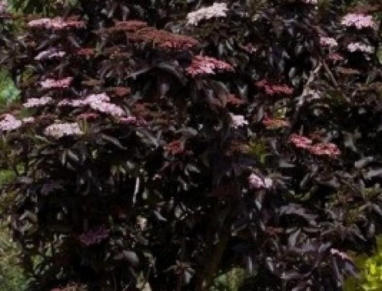 SAMBUCUS nigra BLACK TOWER (R)